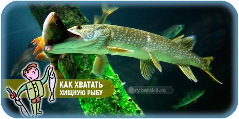 Как следует хватать хищную рыбу и снимать с крючка