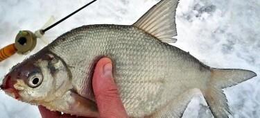 Тест рыбака по знанию зимней ловли леща