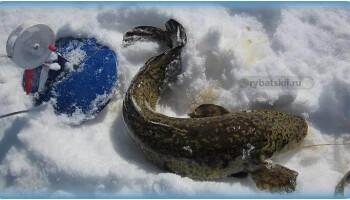 Ловля налима на жерлицы зимой