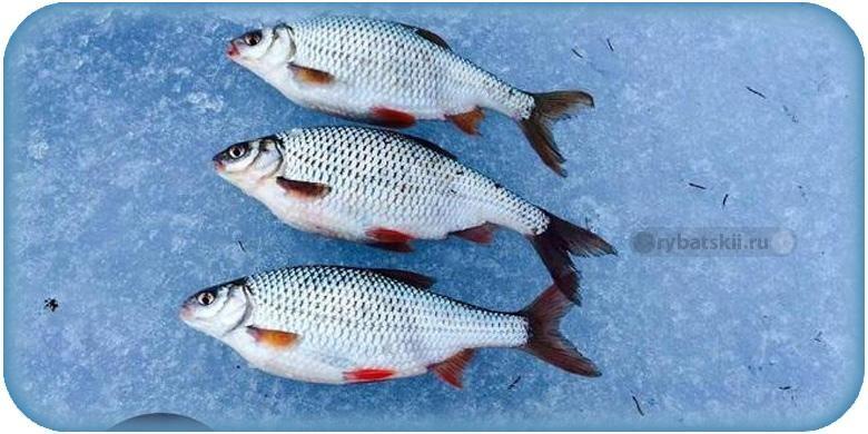 Тактика рыбалки на плотву по первому льду