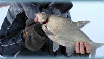 Тактика ловли леща на течении со льда
