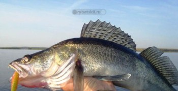 Отчёт о ловле судака на Ириклинском водохранилище