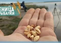 Как приготовить пшеницу для рыбалки и использовать зёрна