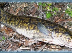 Как ловить налима осенью на фидер и в какое время