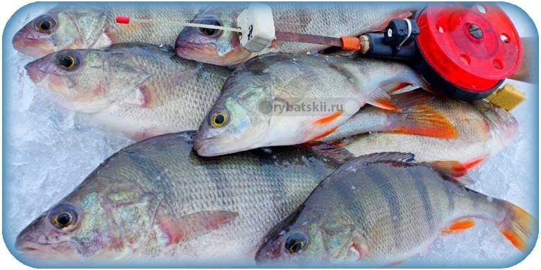 Хитрости зимней рыбалки на окуня на мормышку