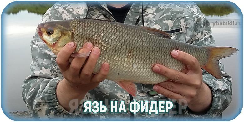 Как поймать язя на фидер: секреты бывалых рыболовов