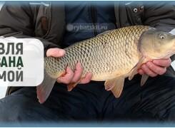 Как поймать сазана зимой и увеличить шансы на улов