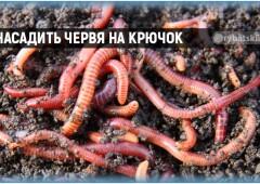 Как насадить червя на крючок на карася, леща и другой рыбы