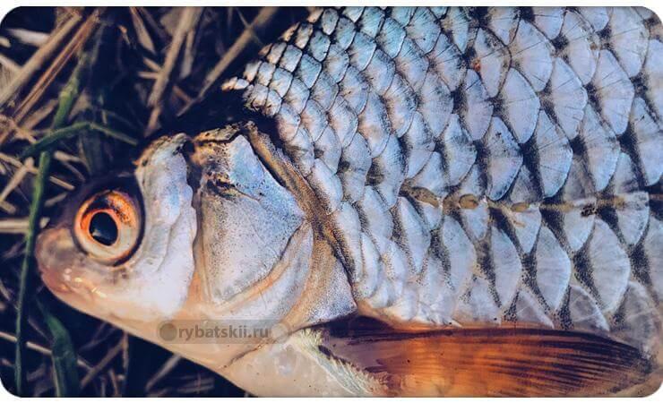 Красноглазая рыба