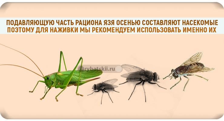 Язя фидером ловят на насекомых