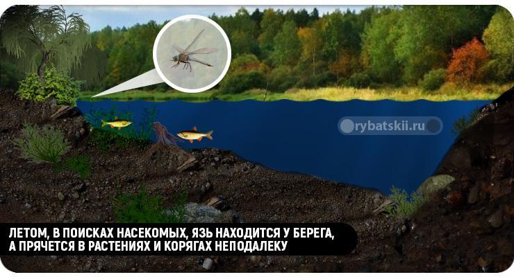 Язь любит насекомых