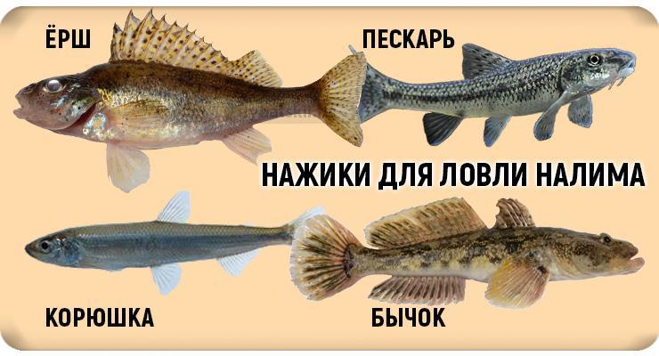 Ловля налима в декабре как золотая пора для рыбалки