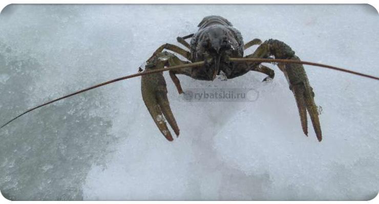 Как ловить раков зимой через лунку