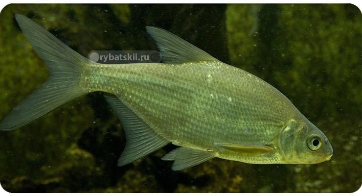 Тактика и секреты зимней рыбалки на густеру