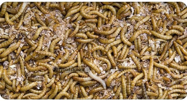 Как разводить червей для рыбалки дома и на даче