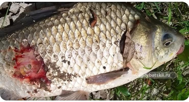 Как сохранить опарышей для рыбалки живыми