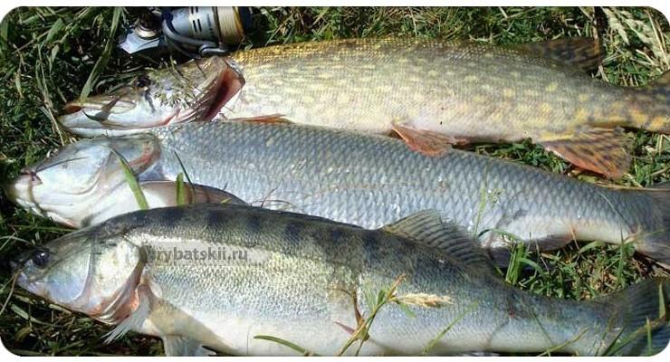 Обилие рыбы на Ахтубе