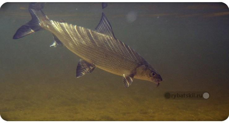 Сиг в Ладожском озере