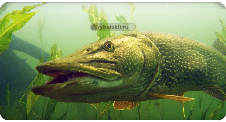 Рыба уходит на дно