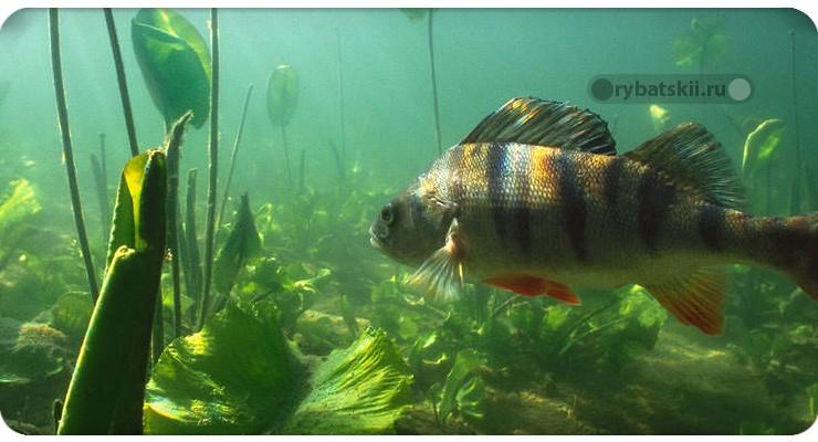 Рыба в зарослях